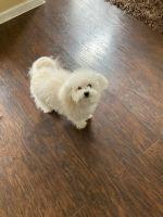Bichon Bolognese Puppies for sale in McDonough Square, McDonough, GA 30253, USA. price: NA