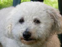 bichon bolognese dog