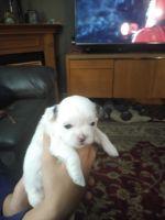 Bichon Frise Puppies for sale in Mt Pleasant, MI 48858, USA. price: NA