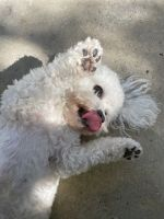 Bichon Frise Puppies for sale in Menifee, CA, USA. price: NA