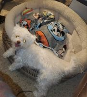 Bichon Frise Puppies for sale in Macomb County, MI, USA. price: NA