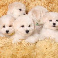 Bichon Frise Puppies for sale in Oklahoma City, OK, USA. price: NA