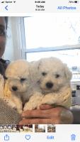 Bichon Frise Puppies for sale in Virginia Beach, VA, USA. price: NA