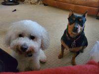 Bichon Frise Puppies for sale in 5737 Jamail NE, Belmont, MI 49306, USA. price: NA