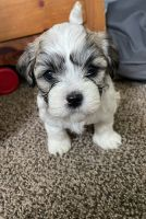 Bichon Frise Puppies for sale in Middletown, OH 45042, USA. price: NA
