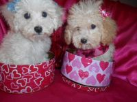 Bichonpoo Puppies for sale in Detroit, MI, USA. price: NA