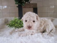 Bichonpoo Puppies for sale in Canton, OH, USA. price: NA