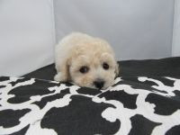 Bichonpoo Puppies for sale in Fullerton, CA, USA. price: NA