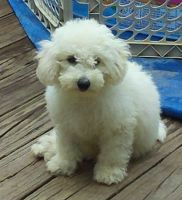 Bichonpoo Puppies Photos