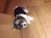 Biewer Puppies for sale in Chicago, IL, USA. price: NA