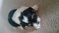 Biewer Puppies for sale in Anchorage, AK, USA. price: NA