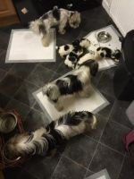 Biewer Puppies for sale in Honolulu, HI, USA. price: NA