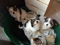 Biewer Puppies for sale in Carlsbad, CA, USA. price: NA
