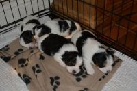 Biewer Puppies for sale in Indianapolis, IN, USA. price: NA