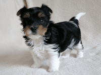 Biewer Puppies for sale in Jersey City, NJ, USA. price: NA