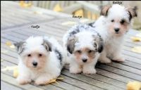 Biewer Puppies for sale in Georgetown, GA, USA. price: NA