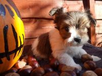 Biewer Puppies for sale in New York, NY, USA. price: NA