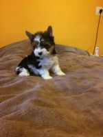 Biewer Puppies for sale in Philadelphia, PA, USA. price: NA
