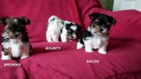 Biewer Puppies for sale in Florida City, FL, USA. price: NA