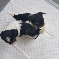Biewer Puppies for sale in Seattle, WA, USA. price: NA