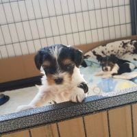 Biewer Puppies for sale in Los Angeles, CA 90001, USA. price: NA