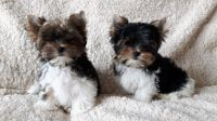 Biewer Puppies for sale in Massachusetts Ave, Cambridge, MA, USA. price: NA