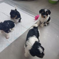 Biewer Puppies for sale in Atlanta, GA, USA. price: NA