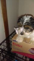 Biewer Puppies for sale in Boston, MA, USA. price: NA