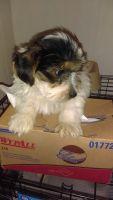 Biewer Puppies Photos