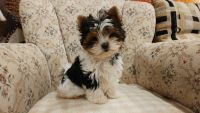 Biewer Puppies for sale in Texas City, TX, USA. price: NA