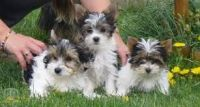 Biewer Puppies for sale in New York, NY 10118, USA. price: NA