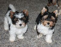 Biewer Puppies for sale in Clifton, NJ 07014, USA. price: NA