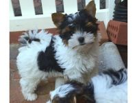 Biewer Puppies for sale in Houston, TX, USA. price: NA