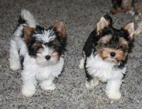 Biewer Puppies for sale in Dallas, TX, USA. price: NA