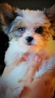 Biewer Puppies for sale in Stanwood, WA 98292, USA. price: NA
