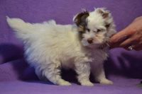 Biewer Puppies for sale in North Miami Beach, FL 33160, USA. price: NA