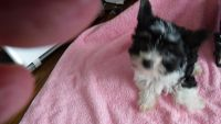 Biewer Puppies for sale in Watertown, NY 13601, USA. price: NA