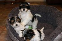 Biewer Puppies for sale in Durham, NC, USA. price: NA