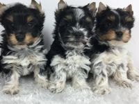 Biewer Puppies for sale in Los Angeles, CA, USA. price: NA