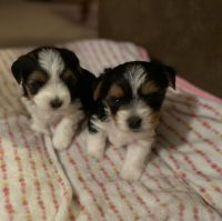 Biewer Puppies for sale in Ironwood, MI 49938, USA. price: NA