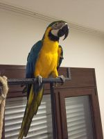 Blue-and-yellow Macaw Birds for sale in Graysville, AL, USA. price: NA