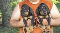 Black and Tan Coonhound Puppies for sale in St. Louis, MO, USA. price: NA
