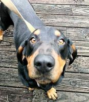 Black and Tan Coonhound Puppies for sale in Sweetwater, TN 37874, USA. price: NA