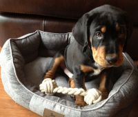 Black and Tan Coonhound Puppies for sale in Escondido, CA, USA. price: NA