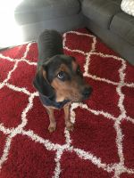 Black and Tan Coonhound Puppies for sale in Surprise, AZ 85388, USA. price: NA