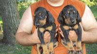 Black and Tan Coonhound Puppies for sale in Bowman, SC 29018, USA. price: NA