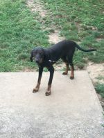 Black and Tan Coonhound Puppies for sale in Bedford, IN 47421, USA. price: NA