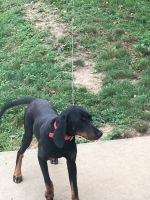 Black and Tan Coonhound Puppies Photos