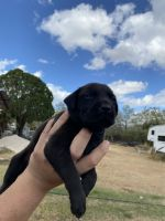 Black and Tan Coonhound Puppies for sale in 13281 Jarratt Rd, Atascosa, TX 78002, USA. price: NA