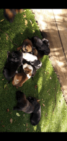 Black and Tan Coonhound Puppies for sale in Orlando, FL, USA. price: NA